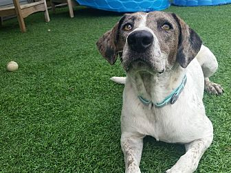 Catahoula Leopard Dog/German Shorthaired Pointer Mix Dog for adoption in Walker, Louisiana - Tallulah