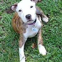 Adopt A Pet :: Tora - McCalla, AL