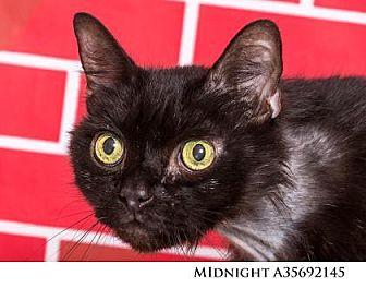 Domestic Shorthair Cat for adoption in Reno, Nevada - Midnight