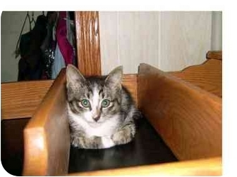 Domestic Shorthair Kitten for adoption in Taber, Alberta - Charlotte