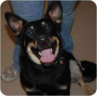 German Shepherd Dog/Labrador Retriever Mix Dog for adoption in Marion, Wisconsin - Rex-Sponsor Me