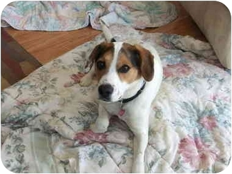 Beagle/Jack Russell Terrier Mix Dog for adoption in Berea, Ohio - Baxter-Courtesy post