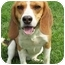 Photo 3 - Beagle Dog for adoption in Indianapolis, Indiana - Bungie