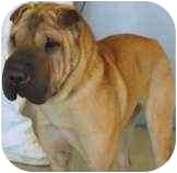 Shar Pei Dog for adoption in Bethesda, Maryland - Wendy