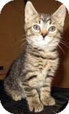 Domestic Shorthair Kitten for adoption in Catasauqua, Pennsylvania - Tigress