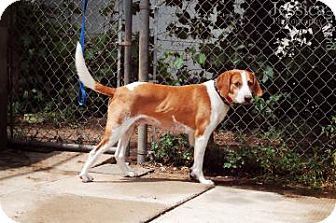 Foxhound Mix Dog for adoption in Barrie, Ontario - Dooie