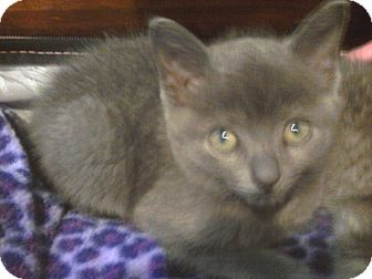 Domestic Shorthair Kitten for adoption in West Palm Beach, Florida - CLYDE