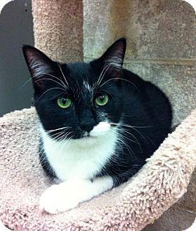 Domestic Shorthair Kitten for adoption in Warminster, Pennsylvania - Lane