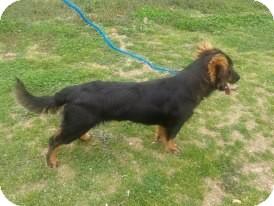 Basset Hound/Shepherd (Unknown Type) Mix Dog for adoption in Remlap, Alabama - Pom Pom