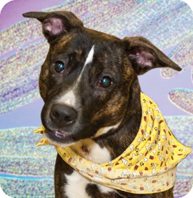 Pit Bull Terrier Mix Dog for adoption in Cincinnati, Ohio - Mercedes