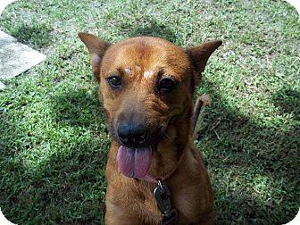 German Shepherd Dog Mix Dog for adoption in Tampa, Florida - Stormy