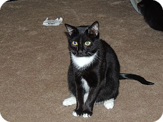 Domestic Shorthair Cat for adoption in Cary, North Carolina - Lulu