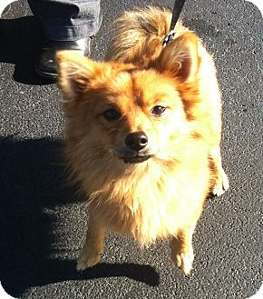 Pomeranian Mix Dog for adoption in Staunton, Virginia - Amos