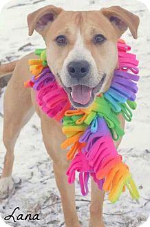 Labrador Retriever Mix Dog for adoption in Poland, Ohio - LANA // 2 (RESCUED)