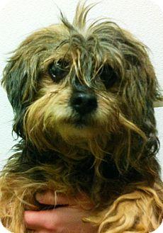Yorkie, Yorkshire Terrier/Poodle (Miniature) Mix Dog for adoption in Oswego, Illinois - Mr. Scruffie