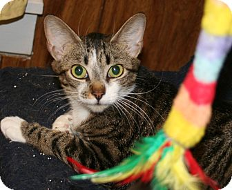 Domestic Shorthair Cat for adoption in Putnam, Connecticut - Splotch