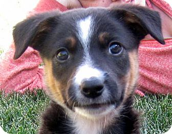 Border Collie/Australian Shepherd Mix Puppy for adoption in Oakley, California - Baby Bleu