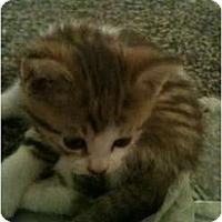 Adopt A Pet :: Norman - Montreal, QC