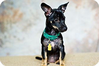 Terrier (Unknown Type, Small) Mix Dog for adoption in Houston, Texas - Coco