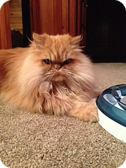 Persian Cat for adoption in Beverly Hills, California - Willy
