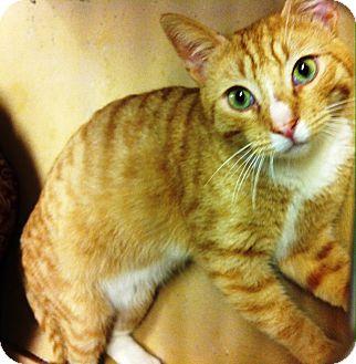 Domestic Shorthair Cat for adoption in Lake Elsinore, California - Mingus