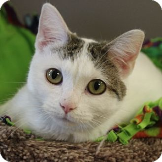Domestic Shorthair Cat for adoption in Naperville, Illinois - Merida