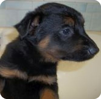 Rottweiler/Australian Cattle Dog Mix Puppy for adoption in Silver City, New Mexico - Alvin