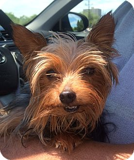 Yorkie, Yorkshire Terrier Dog for adoption in Fairview Heights, Illinois - Obi