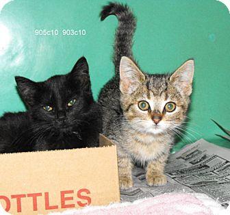 Domestic Shorthair Kitten for adoption in Napoleon, Ohio - Allison