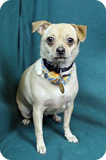 Chihuahua/Pug Mix Dog for adoption in Westminster, Colorado - Pixie