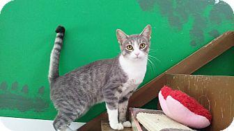 Domestic Shorthair Cat for adoption in Diamond Springs, California - Jezica