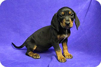 Hound (Unknown Type)/Beagle Mix Puppy for adoption in Westminster, Colorado - BooBoo