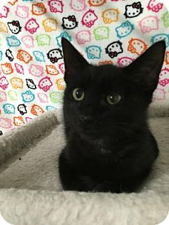 Domestic Shorthair Kitten for adoption in Fountain Hills, Arizona - SATURN