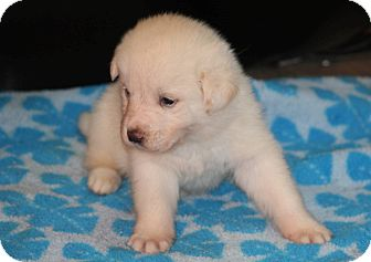 Labrador Retriever Mix Puppy for adoption in Huntsville, Alabama - Frosty