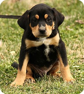 Great Pyrenees/Rottweiler Mix Puppy for adoption in Spring Valley, New York - Amos