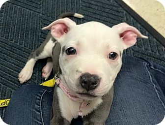 Pit Bull Terrier Mix Puppy for adoption in Wilmington, Delaware - Ivy