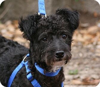 Poodle (Toy or Tea Cup) Mix Dog for adoption in Carlsbad, California - Boo!