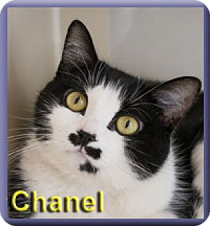 Domestic Shorthair Cat for adoption in Aldie, Virginia - Chanel