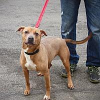 Adopt A Pet :: Myra - Bronx, NY