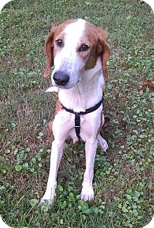 Hound (Unknown Type) Mix Dog for adoption in Richmond, Virginia - Lucky  -Courtesy List
