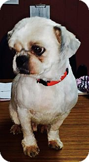 Shih Tzu Dog for adoption in Goodlettsville, Tennessee - Fletcher