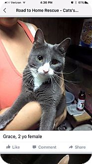 Domestic Shorthair Cat for adoption in Wantagh, New York - Grace