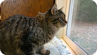 Maine Coon Cat for adoption in Seattle c/o Kingston 98346/ Washington State, Washington - Bob and Dylan