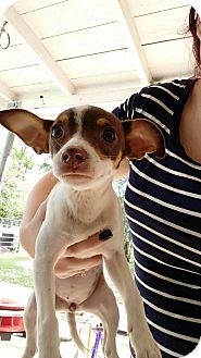 Chihuahua Mix Puppy for adoption in Houston, Texas - Petunia
