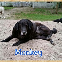 Adopt A Pet :: Monkey - Mount Pleasant, SC
