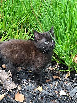 Domestic Mediumhair Kitten for adoption in Lodi, California - Lily