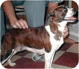 Boston Terrier/Beagle Mix Dog for adoption in Rockville, Maryland - Bunny