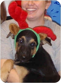 German Shepherd Dog/Australian Shepherd Mix Puppy for adoption in Houston, Texas - Lazarus