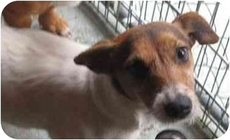 Jack Russell Terrier Mix Dog for adoption in Talking Rock, Georgia - Trixie