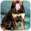 Photo 3 - Rottweiler/German Shepherd Dog Mix Dog for adoption in Berkeley, California - The Rock